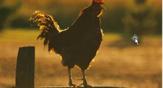 El canto de los gallos al amanecer