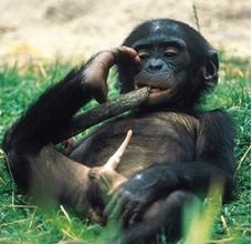 de la mayoría de los primates el de los chimpancés bonobos es