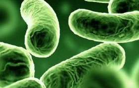 Mycobacterium vacca