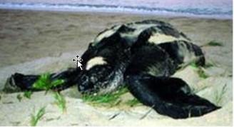 Cómo conocer la migracion de las tortugas