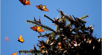 2014-04-28 11-33-25_6 Peligra la mariposa Monarca