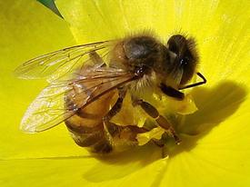 2014-05-08 17-46-53_7  Alerta alerta abejas en peligro   Mayo 14