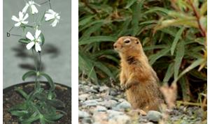 2014-10-28 12-00-41_18. Reviven flor congelada conservada en una madriguera fosilizada de ardillas