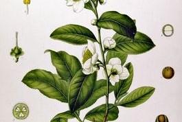 43. imagen de Camellia sinensis.
