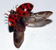H. axyridis desplegando las alas.