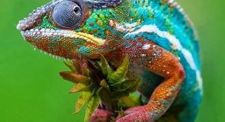 Camaleón mostrando diversidad de colores