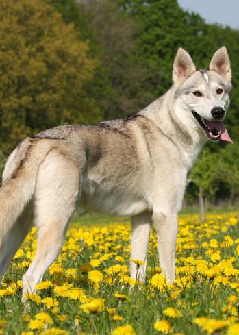 Perro de la raza Tamaskan. Crédito ©Kirsten DieksCreative Commons