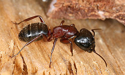 250px-Camponotus_sideview_2