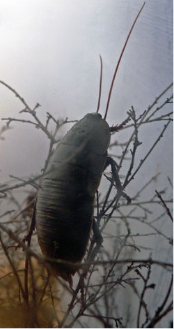 Macropanesthia rhinoceros