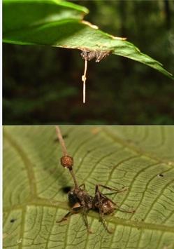 Tema 93. Hormigas muertas mostrando el cuerpo frectífero del hongo Ophiocordyceps unilateralis