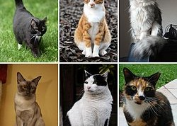 250px-Collage_of_Six_Cats-02