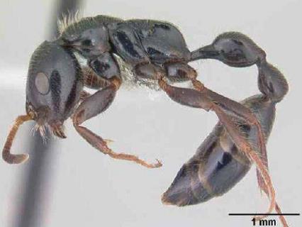 Hormiga beneficiosa