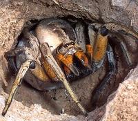 Araña licósida que en Europa llaman tarántula
