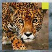 Tema 136. Jaguar