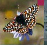 Tema 136. Mariposa quino