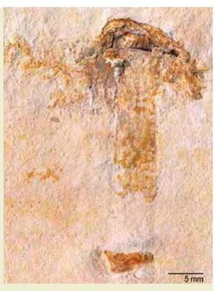 tema 135. Hongo fósil