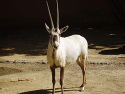 Tema 155. Oryx, antílope del desierto