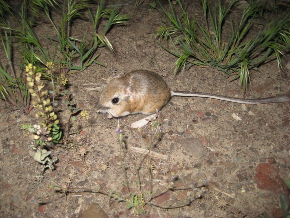 Tema 155. Rata canguro