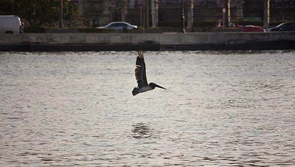 Un pelícano vuela sobre el canal de entrada de la bahía habanera.