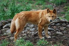 Tema 175. Dingo