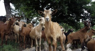 cabra (Medium)