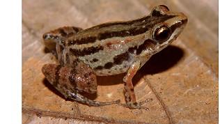 Tema 189. Eleutherodactylus adelus copia