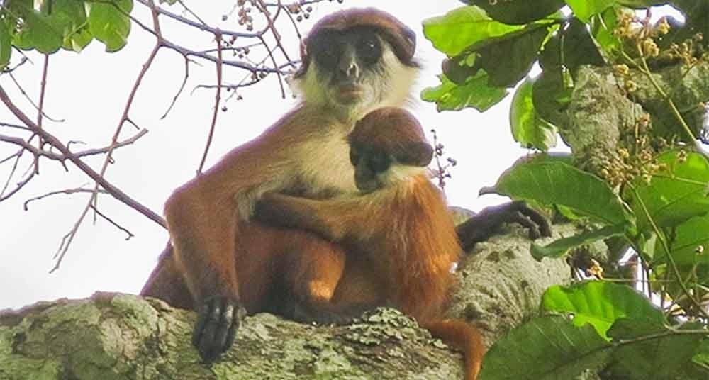 Tema 198. Mono colobobo de Bouvieri