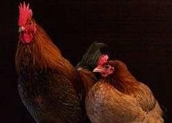 Tema 202. Gallo y gallina.