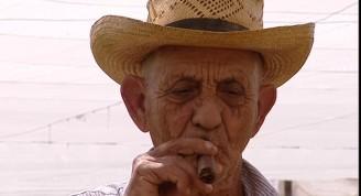 815945387-planta-de-tabaco-plantacion-de-tabaco-cultivo-de-tabaco-cigarro