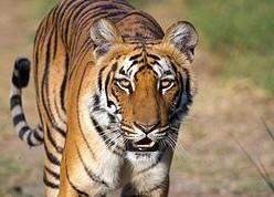 Tema 230. Tigre de Bengala (Pantera tigris tigris)