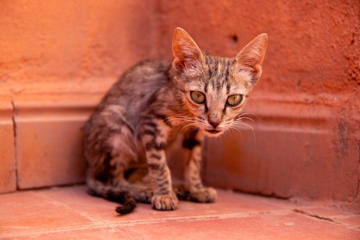gato-delgado