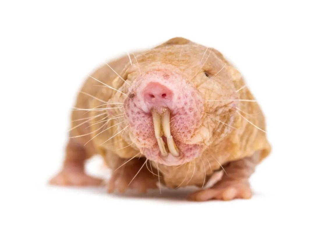 rata topo lampiña